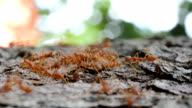 Swarm of ants walking (fast motion effect) video