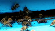 Swarm of bees near beehive video