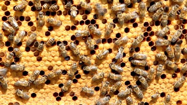 swarm of bees produce honey video