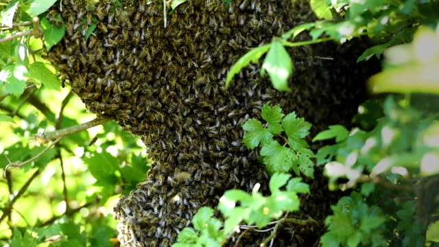 Swarm of bees video