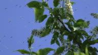 Swarm of Mosquitos video