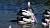 CLOSE UP: Swarm of pretty pelicans and black ducks swimming in the river video