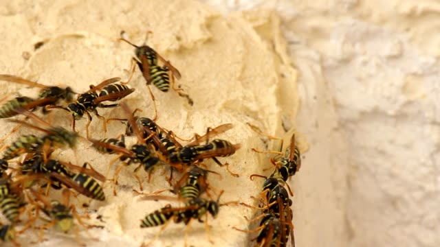 Swarm of wasps video
