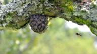 Swarming bee in the garden video