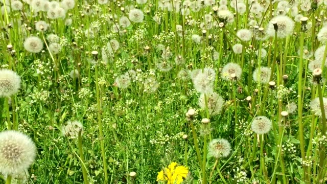 Swaying blowballs on green grass field. Dolly slow motion. Fresh green background beautiful scene with flowers. Summer day green meadow. Field of white dandelions sunny springtime. Green nature video
