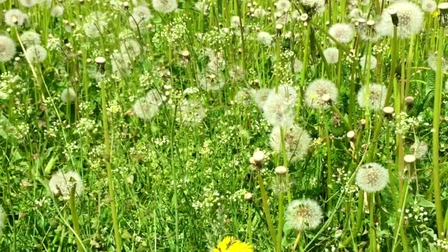 Swaying blowballs on green grass field. Dolly zoom out. Fresh green background beautiful scene with flowers. Summer day green meadow. Big field of yellow dandelions sunny springtime. Green nature video