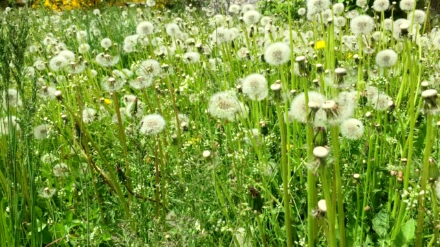 Swaying blowballs on green grass field Panning right. Fresh green background beautiful scene with flowers. Summer day green meadow. Green field of dandelions sunny springtime. Juice green plant nature video