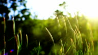 Swaying grass and sunlight (loopable) video