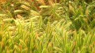 Swaying grass in field video