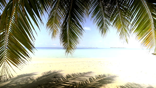 Swaying motion of coconut leafs, Maldives video