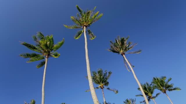Swaying palm trees against the blue sky video