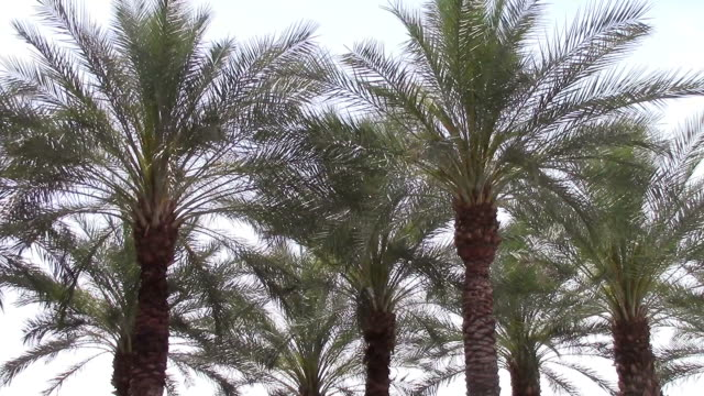 Swaying palm trees video