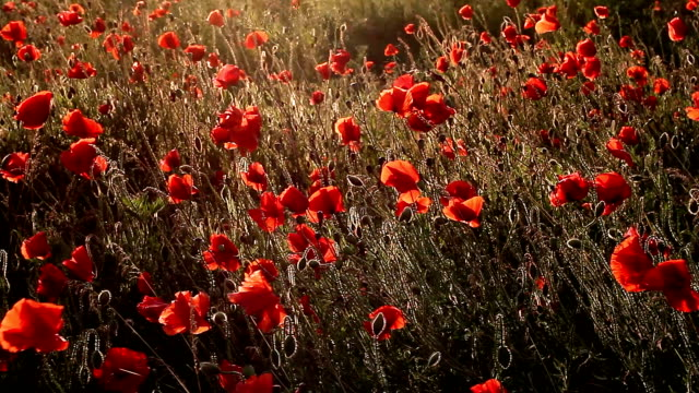 Swaying poppies in field with backlight video