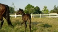 CLOSE UP: Sweet baby coal following his mother on horse ranch video