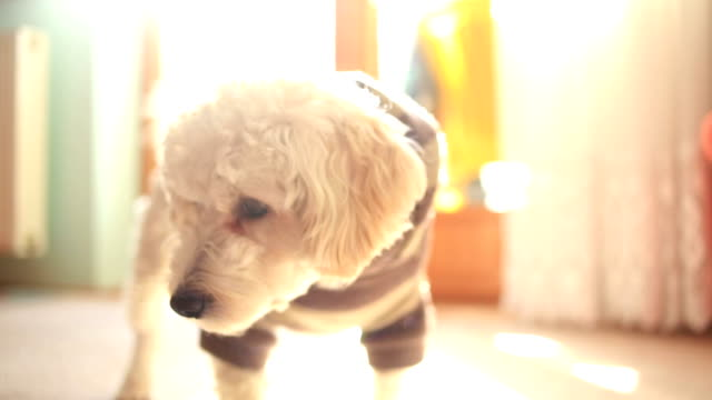 Sweet Poodle Puppy video