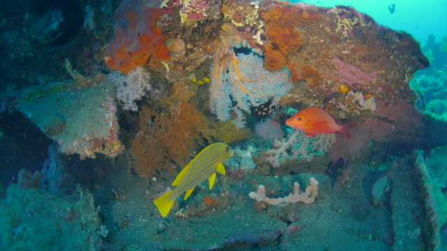 Sweetlip and emperor bream fish swimming in shipwreck, Bali (4K) video