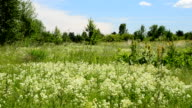 Swift birds fly over a green blossoming meadow video