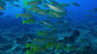 Swim close to striped large-eye bream fish video