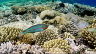 Swim over amazing corals with exotic fish. A curious Klunzingers Wrasse fish floats on the background of magnificent corals in the Red Sea video