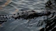 Swimming Alligators video