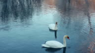 Swimming birds on river. Swan cleaning feather. White swans swimming in lake video