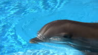 Swimming Dolphin video