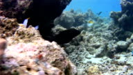 Swimming giant moray eel on Maldives coral reef video