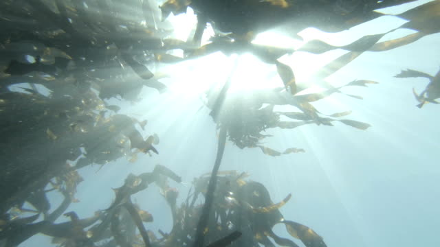 Swimming through a kelp seaweed forest in Hout Bay, Cape Town video