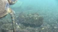 Swimming Turtle in Hawaii video