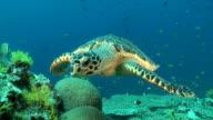 Swimming Turtle video