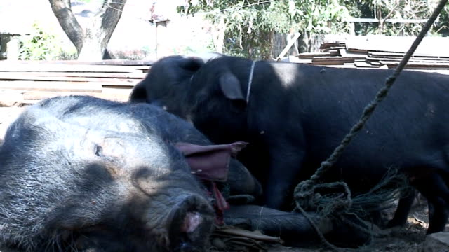 Swine video
