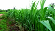 swing of corn plant leaf in the agriculture field video