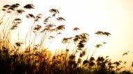 Swinging Reed backlight by Sun (HD) video