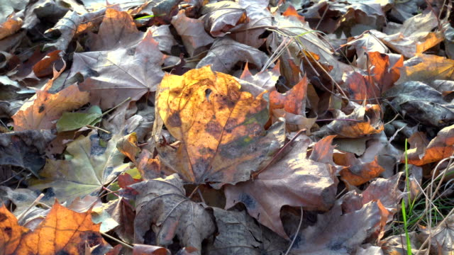 swinging yellow withwred mapple leaf on the ground video