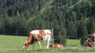 Swiss cows video