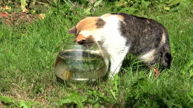 Tabby cat catching fish upset glass aquarium and water flow out. Closeup. FullHD video