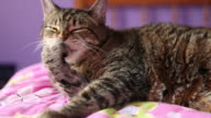 Tabby Cat Cleaning Paw video