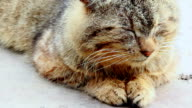 tabby cat doze video