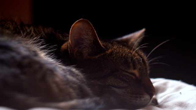 Tabby cat sleeping in the bed video