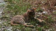Tabby kitten running on grass video