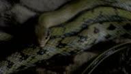 Taiwan Striped-tailed Rat Snake Orthriophis taeniurus video
