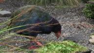 Takahe eat food video