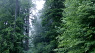 Tall Foggy Trees in Forest video