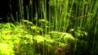 Tall grass and ferns in redwood forest video