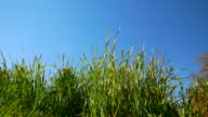 Tall grass on a clear day video