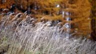Tall grass, yellow larch trees video