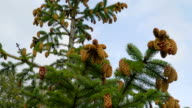 Tall Picea jesoensis tree or the spruce tree in the garden video