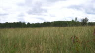 Tall prairie grasses blowing in the wind on a cloudy day video
