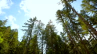 Tall trees in the forests of the Pacific Northwest, USA video