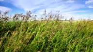 Tall wild grasses blow in the wind video